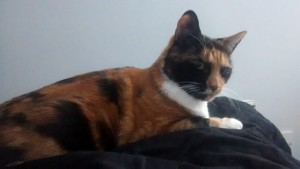 Tortoiseshell cat lying on a black bedspread